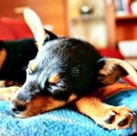 Sick little puppy on blanket