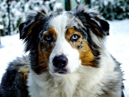 Blue Merle Australian Shepherd dog