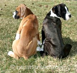Two Boxer puppies sitting together