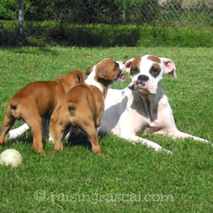 Boxer mom with her two puppies