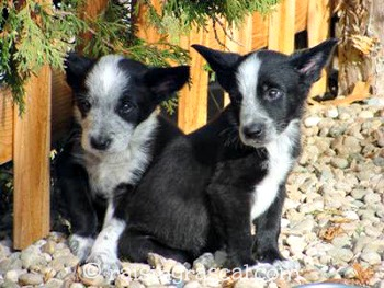 Cattle-dog puppies
