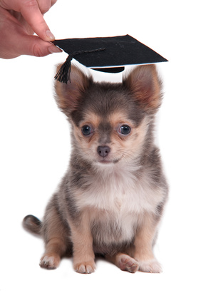 Chihuahua pup graduation puppy training class
