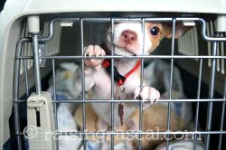 Chihuahua puppy in his crate