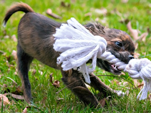 Chihuahua puppy with rope toy