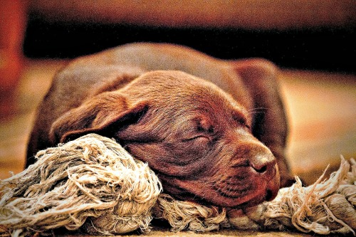 Chocolate Labrador Retriever puppy with rope toy