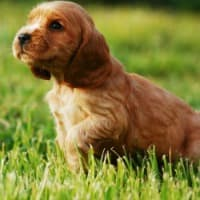 Healthy Cocker Spaniel puppy in grass