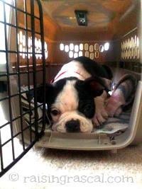 Boston Terrier pup enjoying his crate
