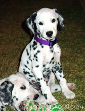 Dalmation puppies at play