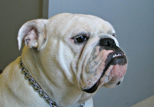 English bulldog showing underbite