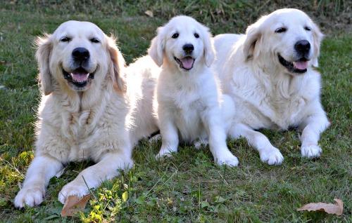 Golden Retriever family