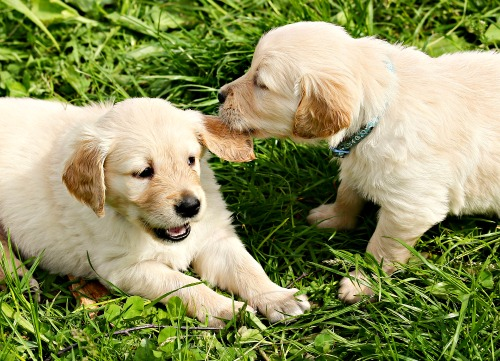 Golden Retriever puppy littermates playing