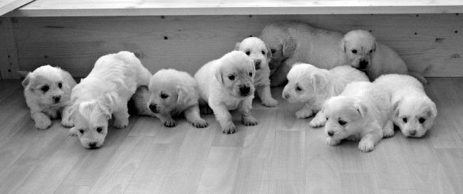 Litter of Golden Retriever puppies