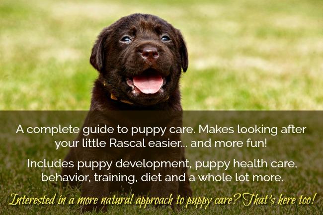 Chocolate Labrador Puppy. Complete Puppy Care Guide.