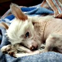Little puppy who is feeling sick with blanket