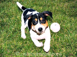 JRT pup playing fetch