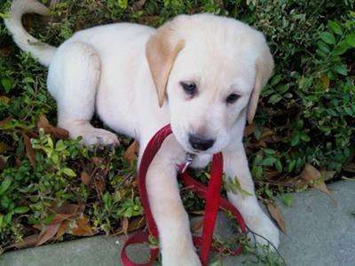 Lab puppy chewing leash