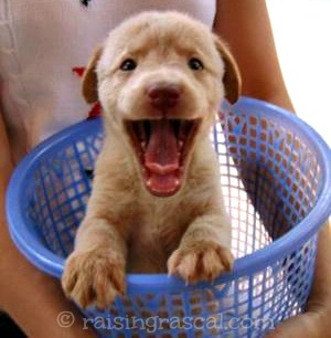 Happy puppy in laundry basket