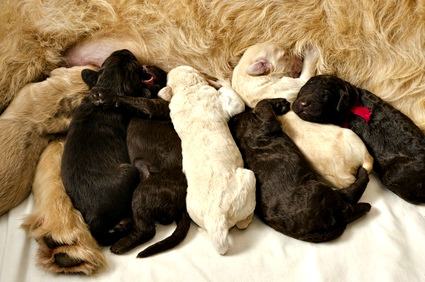 New Labradoodle puppies nursing from mom