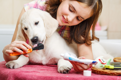 Labrador Retriever puppy teeth care