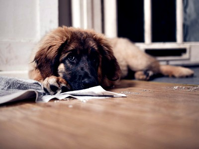 Leonberger puppy with chewed up pee pad
