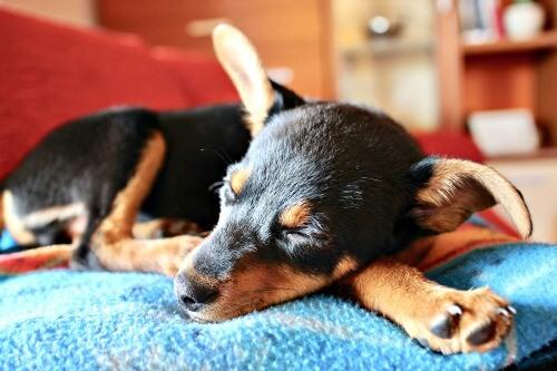 Min Pin puppy sleeping