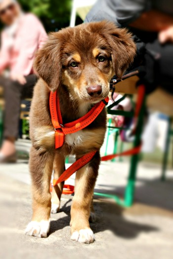 Mixed breed puppy wearing harness while out and about