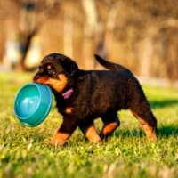 Rottweiler puppy carrying empty food bowl