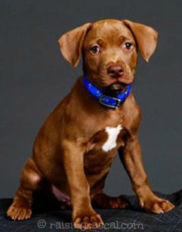 Beautiful Pitbull mix puppy