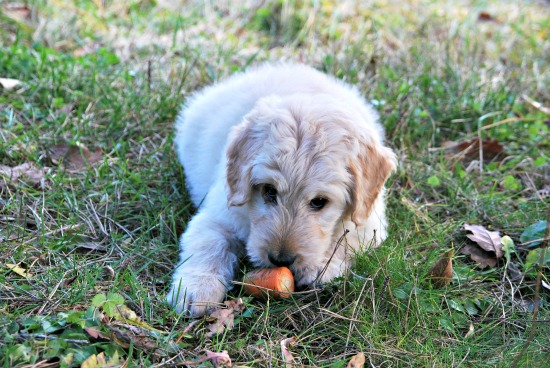 Puppy eating raw carrot