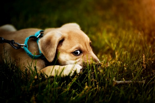 Leashed puppy lying in the grass