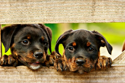 Two puppies looking through broken fence