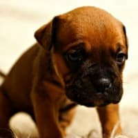 Tiny Boxer puppy not feeling well