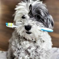 Puppy holding tooth brush in his mouth