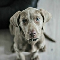Weimaraner puppy practicing sit training command