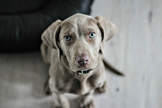 Weimeraner puppy training