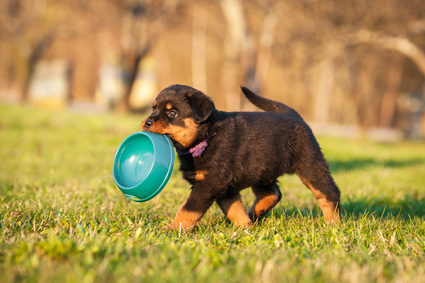 Rottweiler puppy with food bowl