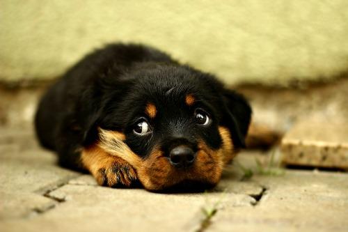 Sad little Rottweiler puppy
