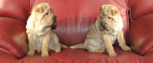 Two shar pei pups on a sofa