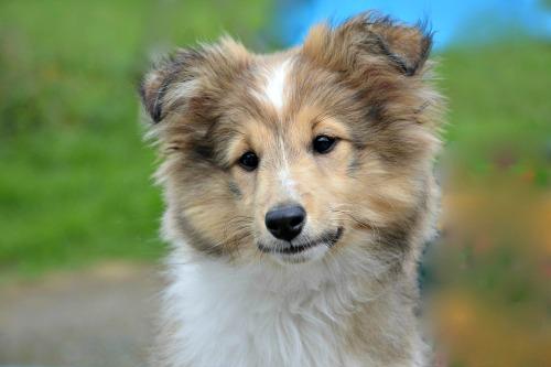 Sheltie puppy at four months