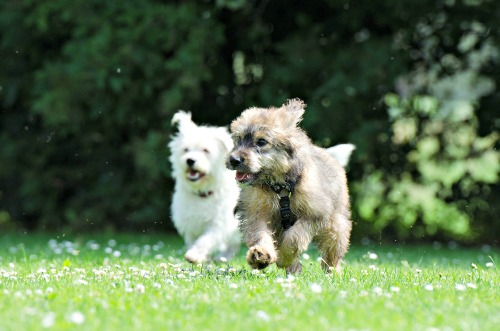 Two Terrier pups playing