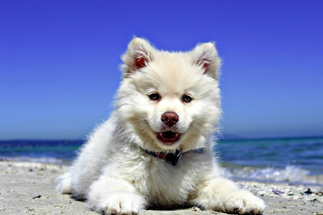 White puppy at the beach