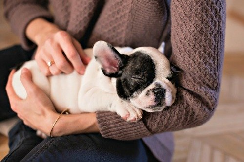 French Bulldog puppy in new owners arms