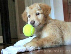 Golden Retriever pup with tennis ball