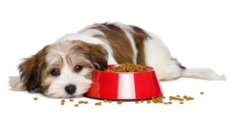 Havanese puppy not eating