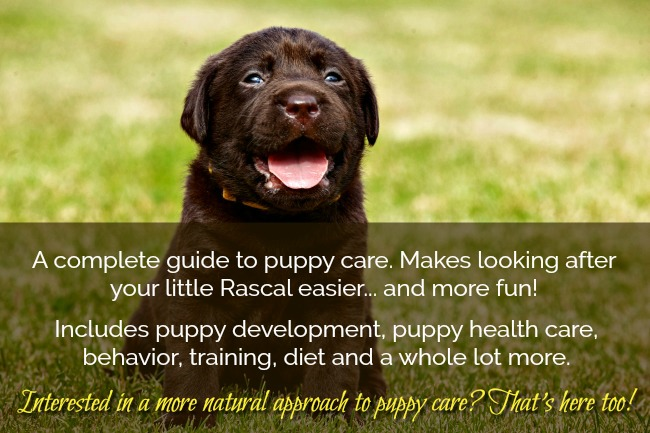 Chocolate Labrador Puppy. Complete Puppy Care Guide.