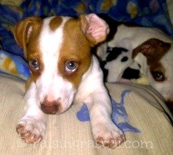 Shy Jack Russell puppy