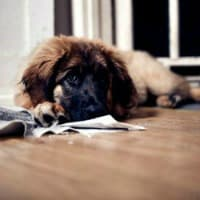 Leonberger puppy with pee pad