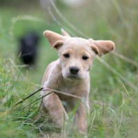 Happy puppy running through long grass