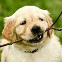 Teething Labrador puppy with stick in his mouth