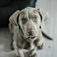 Weimaraner puppy practicing sit training command